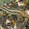 Cuban Curlytail Lizard