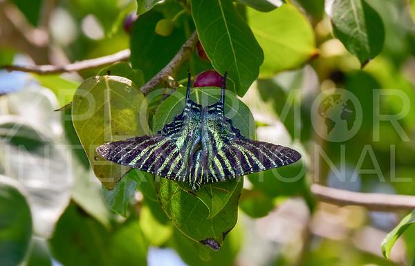 Boisduval's Urania Swallowtail Moth