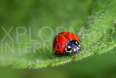 Spotless Lady Beetle