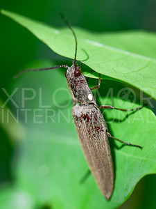 Click Beetle, Unidentified