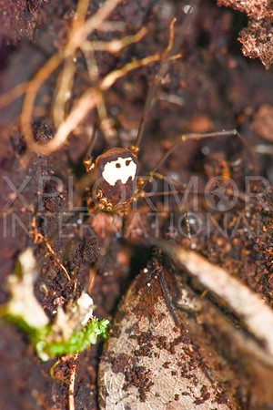 Harvestmen Spider III