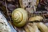 Helicoid Terrestrial Snail III