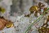 Helicoid Terrestrial Snail
