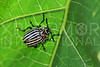 Leaf Beetle - Need ID