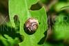 Cuban Snail II