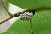 Caterpillar, Unidentified