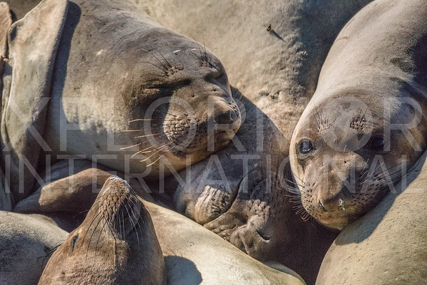 Northern Elephant Seals