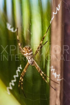 Orb-Weaver Spider I