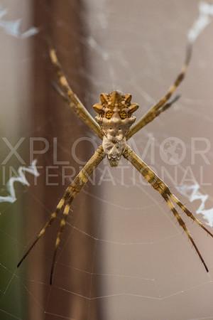 Orb-Weaver Spider II