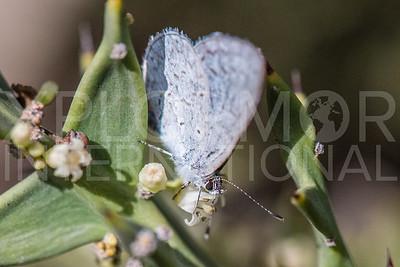 Spring Azure Butterfly II