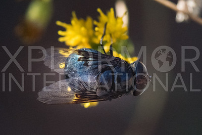 Mexican Cactus Fly III