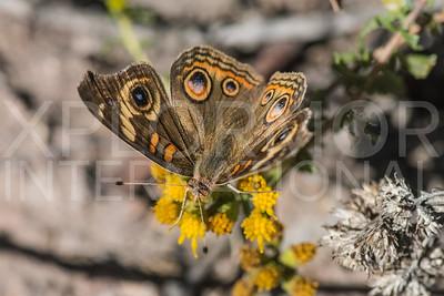 Common Buckeye Butterfly II