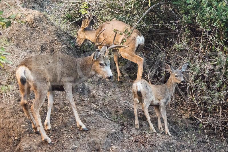 California Mule Deer Family