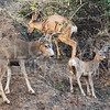 California Mule Deer Family