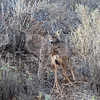 California Mule Deer in the Chaparral