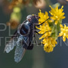 Mexican Cactus Fly