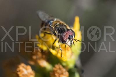 Bromeliad Fly III