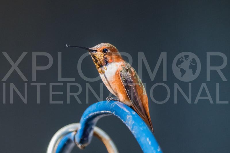 Allen's Hummingbird I