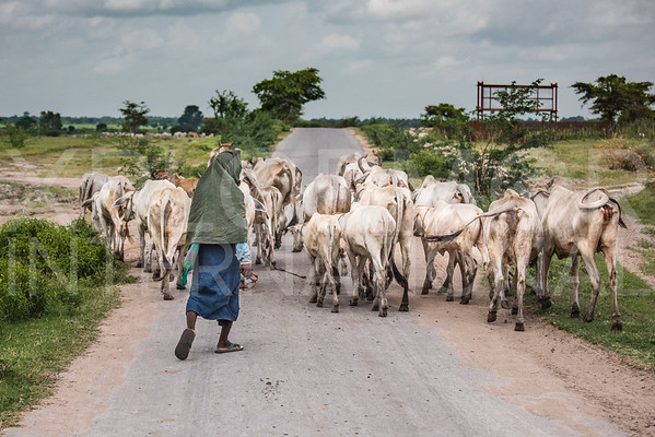 Burmese Cow Herder Guides his Cattle to a Greener Pasture