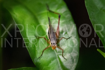 Common Bush Cricket