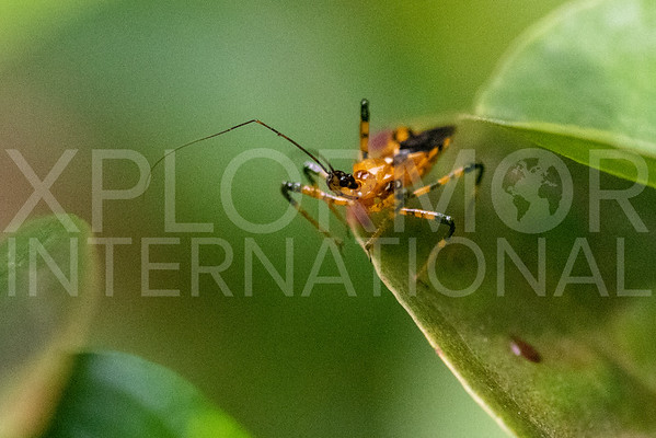 Yellow Assassin Bug