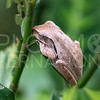 Common Southeast Asian Tree Frog