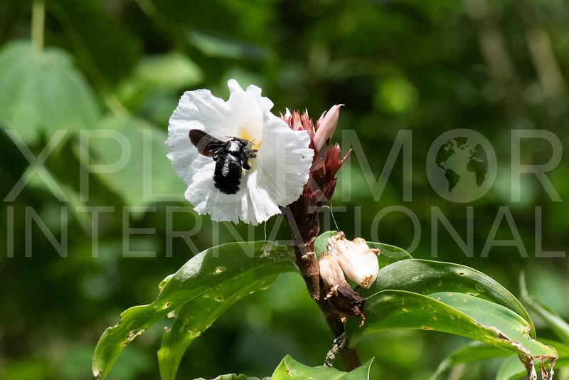 Broad-handed Carpenter Bee