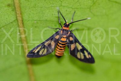 Hübner's Wasp Moth