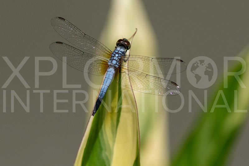 Oriental Blue Dasher
