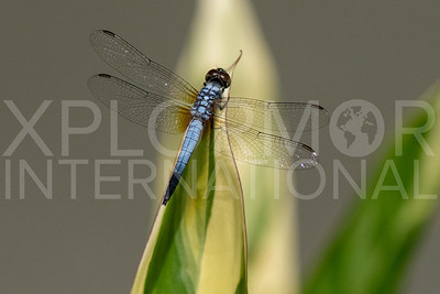 Oriental Blue Dasher