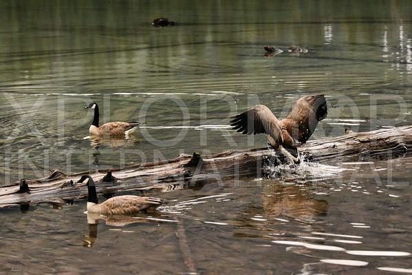 Log Jumping Geese