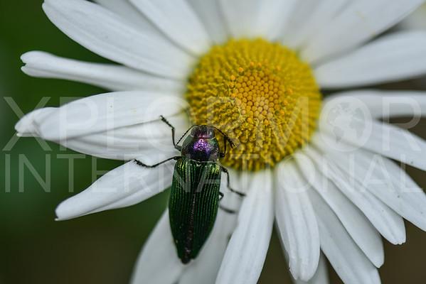 Metallic Wood-Boring Beetle - Need ID