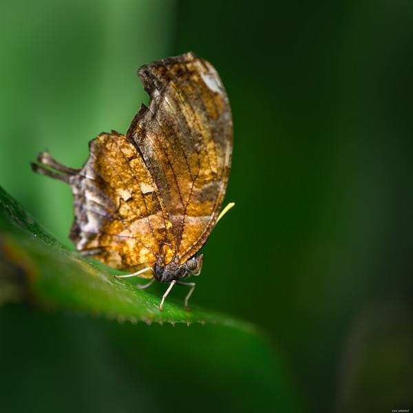 Brown winged