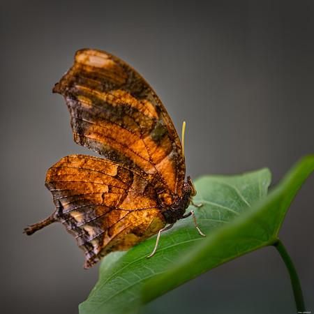 Brown wings