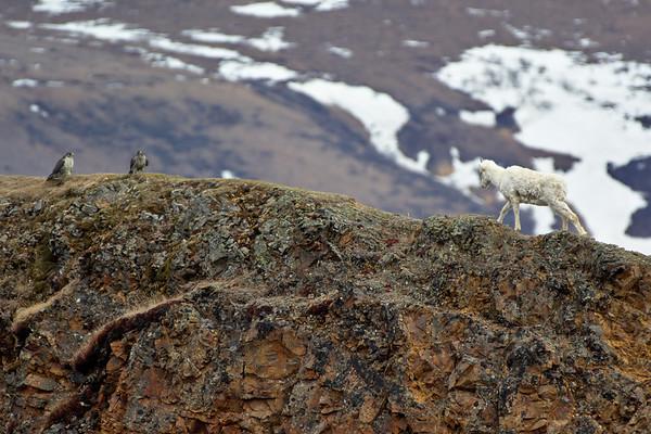 Dall Sheep and Gyr Falcon Encounter at Polychrome