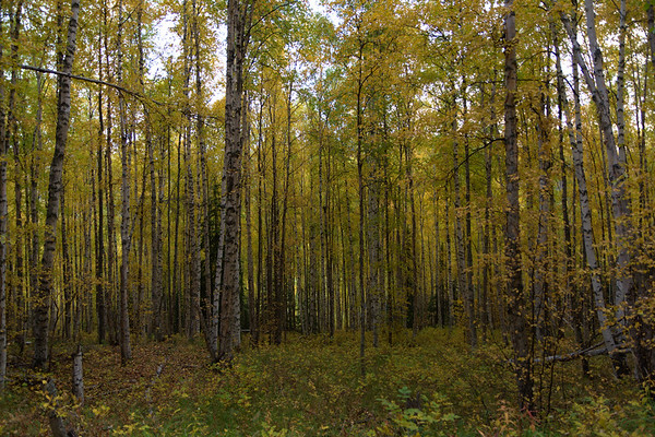 Birch Colors Changing