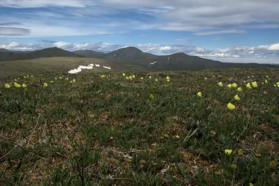 Poppys on Eagle Summit