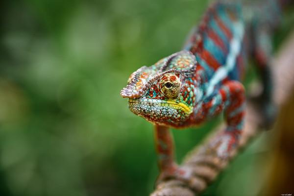 Sad chameleon