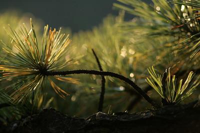 Sun Kissed Pine