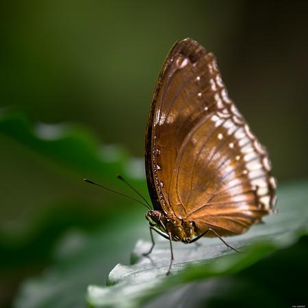 Folded wings