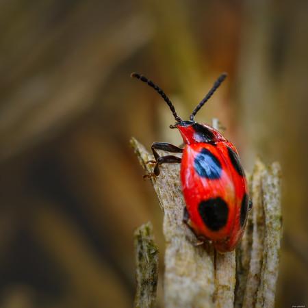 False Ladybird