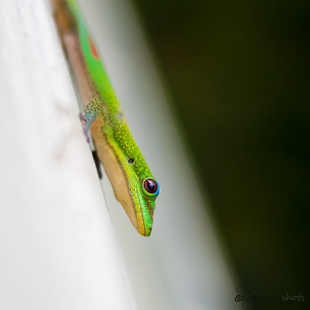 Geckos would come to visit us every morning and evening on the lanai