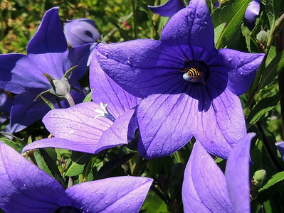 Balloon Flower Bee | Bar Harbor, Maine