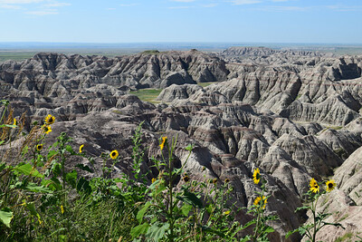 Prairie Sunflowers | Badlands National Park