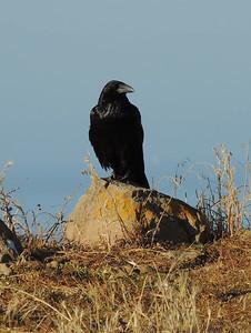 Raven | Channel Islands National Park