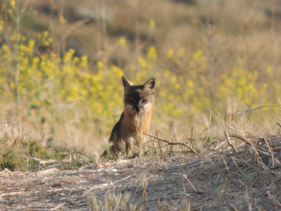 Curious Fox | Channel Islands National Park