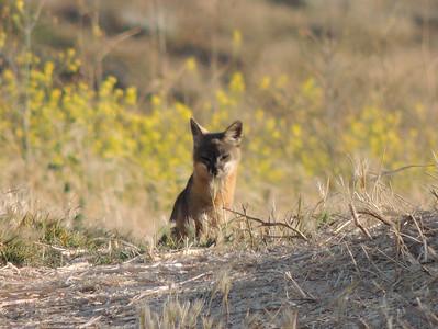 Curious Fox | Channel Islands National Park