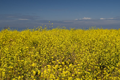 Wildflowers | Channel Islands National Park