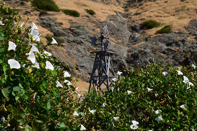 Windmill and Bindweed | Channel Islands National Park