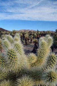 Cholla Cactus | Joshua Tree National Park